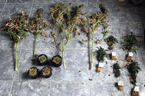 Marijuana plants seized in raids on two Uptown homes in July 2011. (UptownMessenger.com file photo via NOPD)