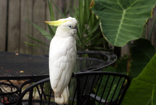 A cockatoo sits on the back patio of Victor Atkins' home in the 3400 block of Laurel Street on Tuesday afternoon. (Robert Morris, UptownMessenger.com)