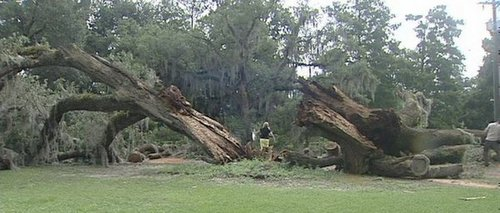 Workers begin removing a fallen oak tree from Audubon Park on Tuesday. (photo via WWL-TV)